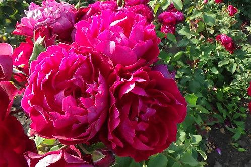 Роза Бенджамин Бриттен (Benjamin Britten) Английская