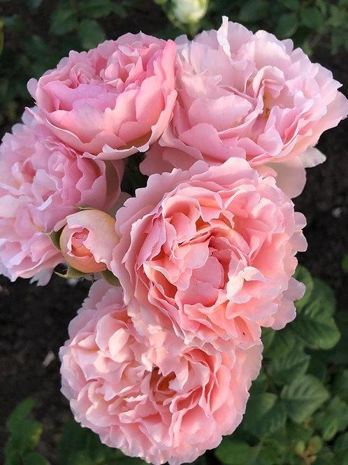 Роза Принцесса Шарлен де Монако (Princesse Charlene De Monaco) Чайно-гибридная