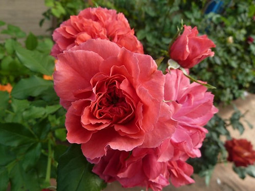 Роза Розариум Ютерсон (Rosarium Uetersen). Клаймбер от Розебук.