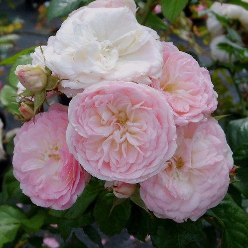 Роза Буке Парфэ (Bouquet Parfait). Мускусная роза от Розебук