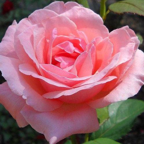Роза Куин Элизабет (Queen Elizabeth) Грандифлора