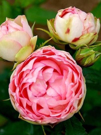 Роза Лавли Рококо (Lovely Rokoko) Чайно-гибридная