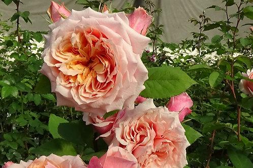 Роза Фестиваль де Жардан де Шомон (Festival des Jardins de Chaumont) Шраб Модерн
