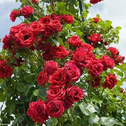 Роза Симпати (Sympathie) Плетистая
