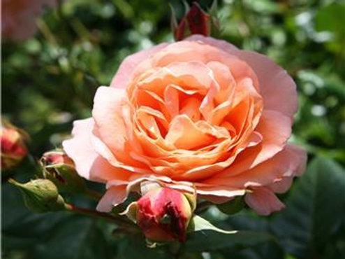 Роза Бонита Ренессанс (Bonita Renaissance) Шраб Модерн