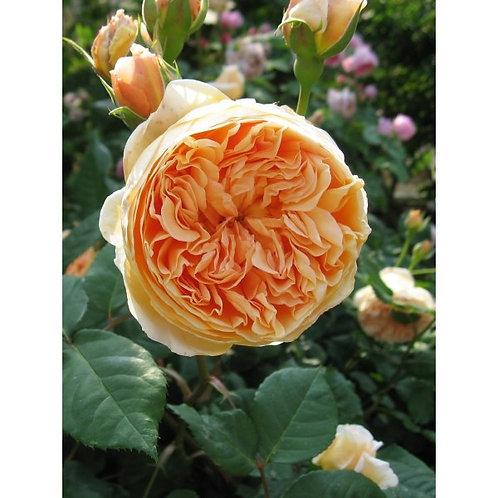 Роза Кроун Принцесса Маргарет (Crown Princess Margaretha) Английская роза от Розебук