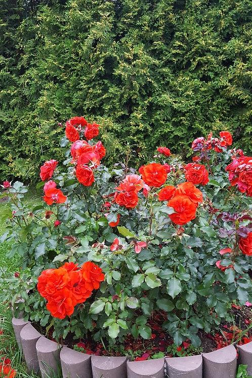 Роза Ремембранс (Remembrance) Флорибунда