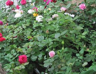 Зимняя прививка роз в итомнике саженцев роз Розебук.