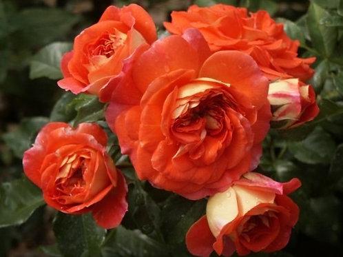 Роза Братья Гримм (Gebruder Grimm) Флорибунда