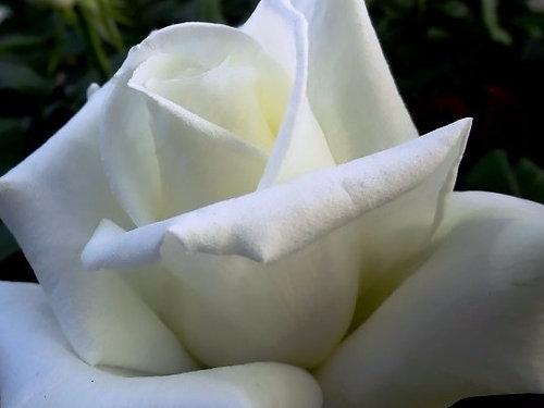 Купить саженцы розы proud titania доставка цветов школьная 3