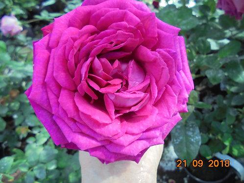 Роза Шантрез де Парм (Chartreuse de Parme) Чайно-гибридная