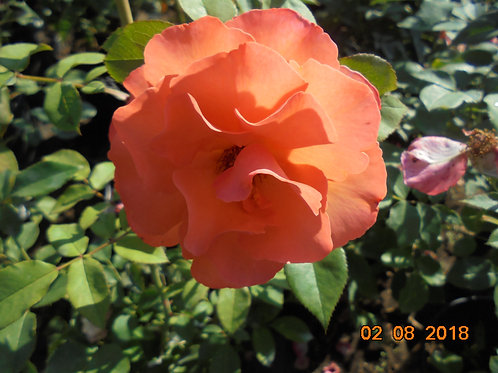 Роза Метанойя (Metanoia). Плетистая роза от Розебук