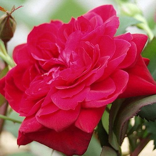 Роза Квадра (Quadra). Плетистая роза от Розебук.