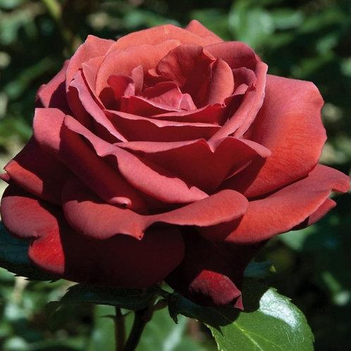 Роза Терракота (Terracotta) Чайно-гибридная