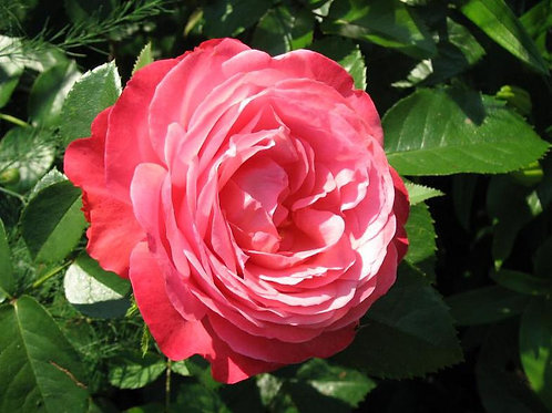 Роза Розанна (Rosanna). Клаймбер от Розебук.