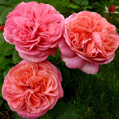 Роза Мэри Энн (Mary Ann) Чайно-гибридная
