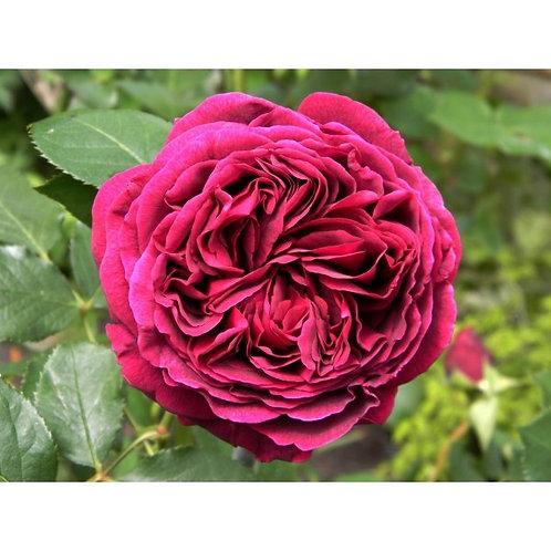 Роза Фальстафф (Falstaff). Английская роза от Розебук.