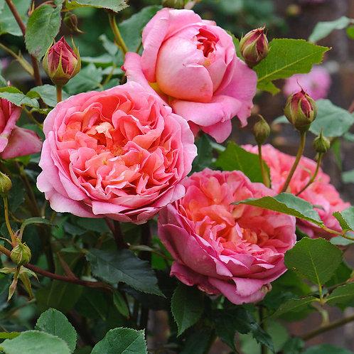 Роза Боскобель (Boscobel) Английская