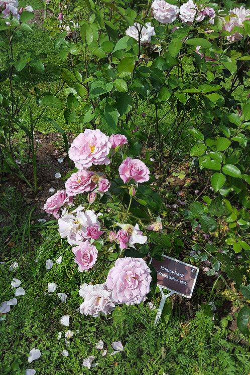 Роза Ханза Парк (Hansa Park) Шраб