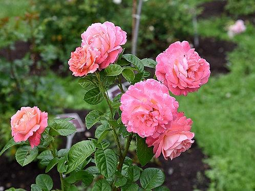 Роза Коре (Kore) Парковая
