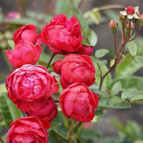 Роза Морсдаг (Morsdag) Полиантовая
