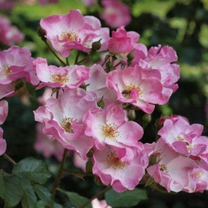 Роза Рози Кушион (Rosy Cushion) Почвопокровная