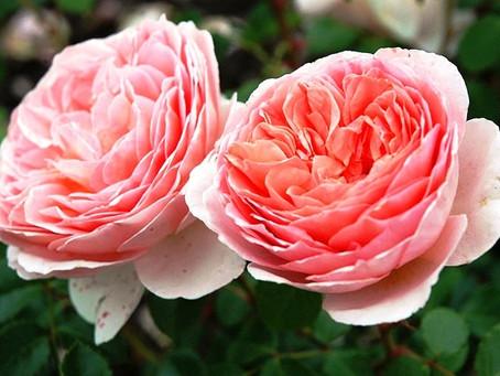 Официальная классификация роз