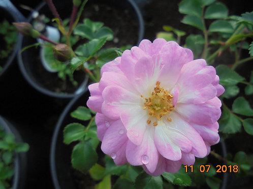 Роза Сатина (Satina) Почвопокровная роза от Розебук