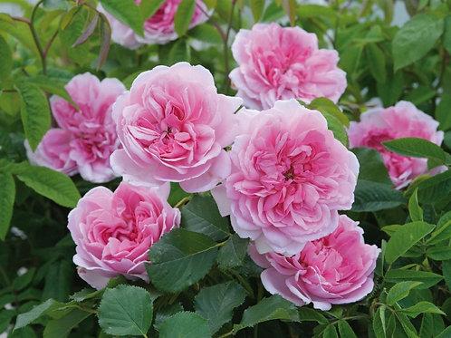 Роза Мартин Фробишер (Martin Frobisher). Канадская роза от Розебук