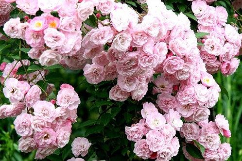 Роза Хевенли Пинк (Heavenly Pink) Lens Бельгия, 1997 мускусные