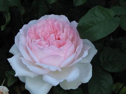 Роза Шарифа Асма (Sharifa Asma). Английская роза от Розебук