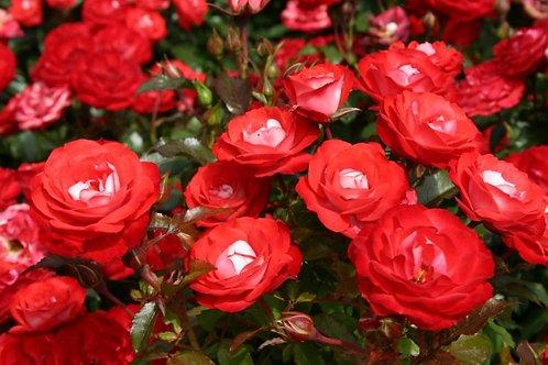 Роза Плантен ун Бломен (Planten un Blomen) Флорибунда