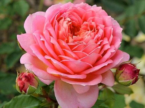 Роза Джубили Селебрейшн (Jubilee Celebration). Английская роза от Розебук