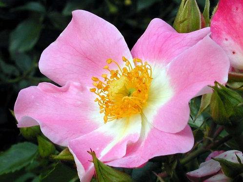 Роза Пинк Басино (Pink Bassino) Почвопокровная