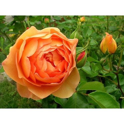 Роза Пет Остин (Pat Austin). Английская роза от Розебук