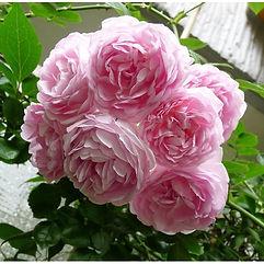 Саженцы плетистых роз из питомника Розебук в Подмосковье.