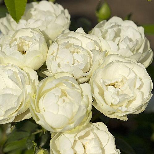 Роза Вайт Морсдаг (White Morsdag) Полиантовая