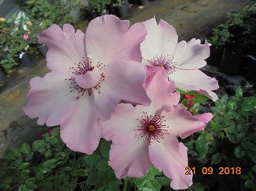 Роза Дэйнти Бесс (Dainty Bess) Чайно-гибридная