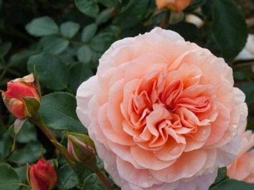 Роза Кевия (Cervia), Зангерхаузер Юбиляумсрозе (Sangerhauser Jubilaumsrose). Флорибунда от Розебук