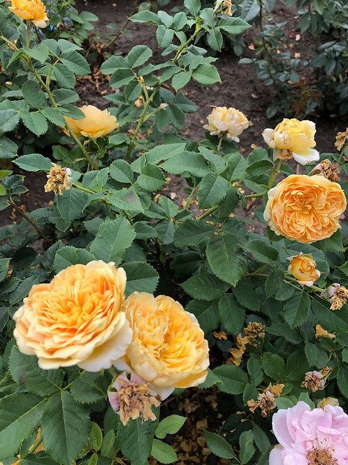 Роза Сто идей сада (Golden Zest) Шраб Модерн
