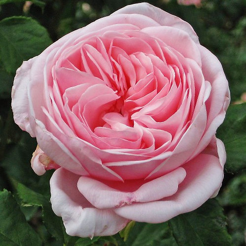 Роза Наэма (Nahema). Клаймбер от Розебук