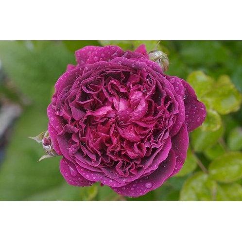 Роза Вильям Шекспир 2000 (William Shakespeare 2000). Английская роза от Розебук
