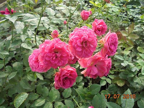 Роза Эльмшорн (Elmshorn). Мускусная роза от Розебук