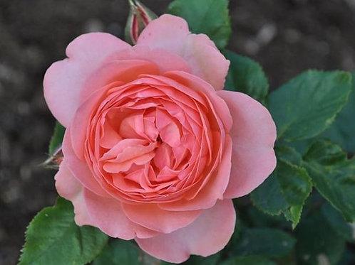 Роза Амелия Ренессанс (Amelia Renaissance) Шраб Модерн