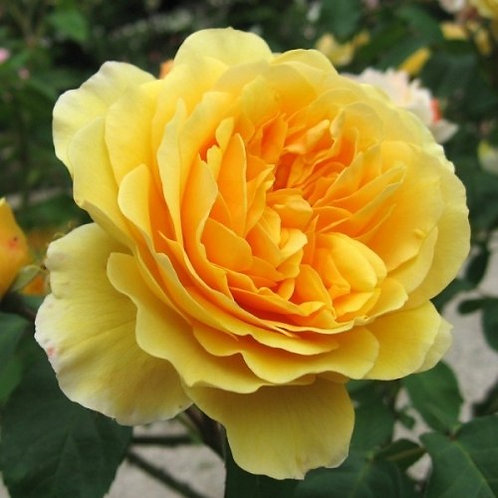 Роза Грехам Томас (Graham Thomas). Английская роза от Розебук