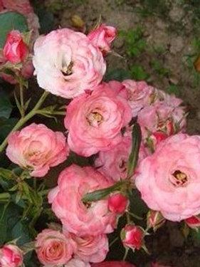 Роза Пат де Велюр (Patte de Veloura) Шраб Модерн