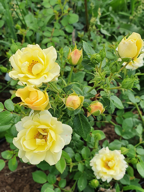 Роза Еллоу Фейри (Yellow Fairy) Почвопокровная роза