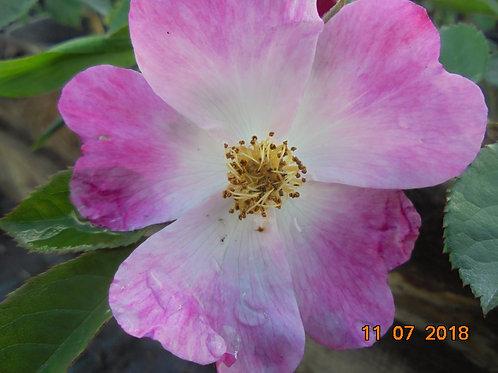 Роза Шенген Роуз (Schengen Rose). Мускусные розы от Розебук.