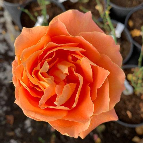 Роза Флора Даника (Flora Danica) Чайно-гибридная