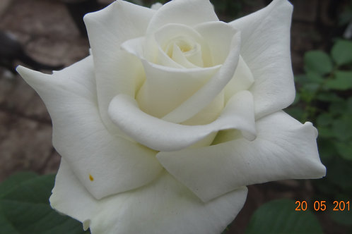 Роза Бьянка (Bianca) Чайно-гибридная